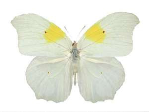 20 X UNMOUNTED BUTTERFLIES, Pieridae, ANTEOS CHLORINDE - Natural History Direct Online Shop
