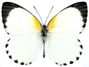 20 X UNMOUNTED BUTTERFLIES, Pieridae, APPIAS SYLVIA - Natural History Direct Online Shop