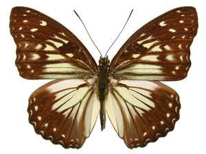 20 X UNMOUNTED BUTTERFLIES, NYMPHALIDAE, Hestinalis divona - Natural History Direct Online Shop