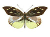 20 X UNMOUNTED BUTTERFLIES, Pieridae,Dismorphia nemesis - Natural History Direct Online Shop