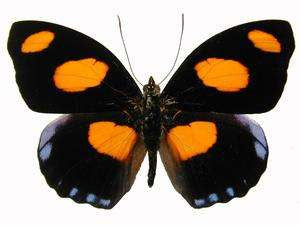 20 X UNMOUNTED BUTTERFLIES, NYMPHALIDAE,Catonephele numilia - Natural History Direct Online Shop