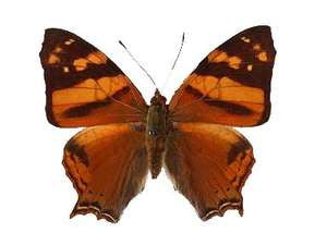 20 X UNMOUNTED BUTTERFLIES, NYMPHALIDAE, Hypanartia lethe - Natural History Direct Online Shop