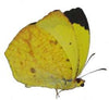 20 X UNMOUNTED BUTTERFLIES, Pieridae, Eurema arbela - Natural History Direct Online Shop