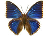20 X UNMOUNTED BUTTERFLIES, NYMPHALIDAE, Charaxes bipunctatus - Natural History Direct Online Shop