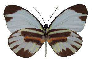 20 X UNMOUNTED BUTTERFLIES, Pieridae,Perrhybris pyrrha carmenta - Natural History Direct Online Shop