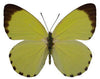 20 X UNMOUNTED BUTTERFLIES, NYMPHALIDAE,Pieris solilucis - Natural History Direct Online Shop