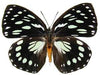 20 X UNMOUNTED BUTTERFLIES, NYMPHALIDAE, Euxanthe euronime - Natural History Direct Online Shop