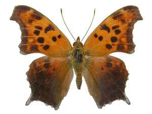 20 X UNMOUNTED BUTTERFLIES, NYMPHALIDAE,Polygonia interrogationis - Natural History Direct Online Shop
