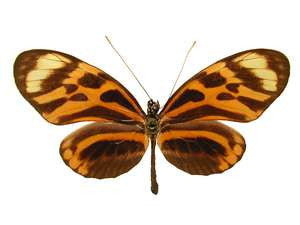 20 X UNMOUNTED BUTTERFLIES, Heliconidae/Ithomidae,Heliconius numata aurora - Natural History Direct Online Shop