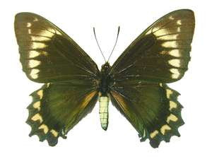 20 X UNMOUNTED BUTTERFLIES, Papilionidae, BATTUS MADYES CHLORODAMAS - Natural History Direct Online Shop