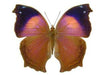 20 X UNMOUNTED BUTTERFLIES, NYMPHALIDAE,Salamis cacta - Natural History Direct Online Shop