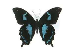 20 X UNMOUNTED BUTTERFLIES, Papilionidae,Papilio oribazus - Natural History Direct Online Shop