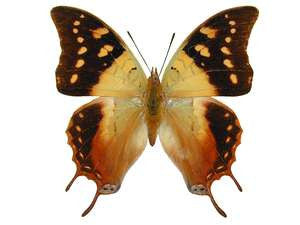20 X UNMOUNTED BUTTERFLIES, NYMPHALIDAE,Charaxes nitebes nitebes - Natural History Direct Online Shop