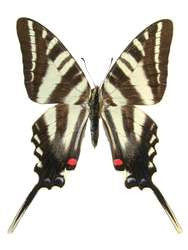 20 X UNMOUNTED BUTTERFLIES, Papilionidae,Eurytides marcellus - Natural History Direct Online Shop