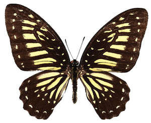 20 X UNMOUNTED BUTTERFLIES, Papilionidae,Graphium deucalion - Natural History Direct Online Shop