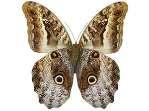 20 X UNMOUNTED BUTTERFLIES, Brassolidae, CALIGO SUPERBUS - Natural History Direct Online Shop