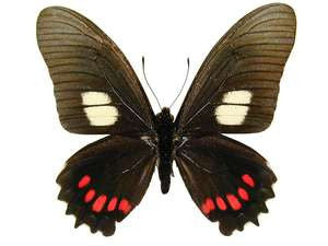 100 X UNMOUNTED BUTTERFLIES, Papilionidae, BLACK PAPILIO/EURYTIDES/BATTUS/PARIDES MIX FROM PERU - Natural History Direct Online Shop