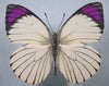 20 X UNMOUNTED BUTTERFLIES, NYMPHALIDAE,Colotis ione - Natural History Direct Online Shop