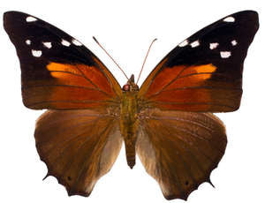 20 X UNMOUNTED BUTTERFLIES, NYMPHALIDAE, Historis acherontia - Natural History Direct Online Shop