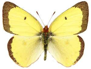 20 X UNMOUNTED BUTTERFLIES, Pieridae, Colias philodice - Natural History Direct Online Shop
