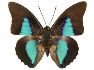 20 X UNMOUNTED BUTTERFLIES, NYMPHALIDAE,Prepona dexamenes - Natural History Direct Online Shop