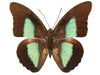 20 X UNMOUNTED BUTTERFLIES, NYMPHALIDAE,Pierella hyceta - Natural History Direct Online Shop