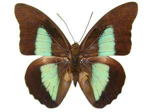 20 X UNMOUNTED BUTTERFLIES, NYMPHALIDAE,Prepona eugenes - Natural History Direct Online Shop