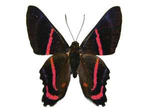 20 X UNMOUNTED BUTTERFLIES, Riodinidae, ANCYLURIS ENDAEMON - Natural History Direct Online Shop