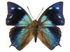 20 X UNMOUNTED BUTTERFLIES, NYMPHALIDAE,ANAEA XENOCLES - Natural History Direct Online Shop