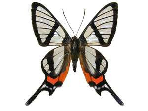 20 X UNMOUNTED BUTTERFLIES, Riodinidae, Chorinea sylphina - Natural History Direct Online Shop