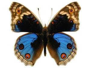 20 X UNMOUNTED BUTTERFLIES, NYMPHALIDAE, Junonia (Precis) orithya - Natural History Direct Online Shop