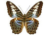 20 X UNMOUNTED BUTTERFLIES, NYMPHALIDAE,Parthenos sylvia lilacinus - Natural History Direct Online Shop