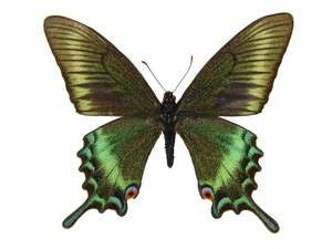 20 X UNMOUNTED BUTTERFLIES, Papilionidae,Papilio maacki maacki(Spring form) - Natural History Direct Online Shop