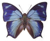 20 X UNMOUNTED BUTTERFLIES, NYMPHALIDAE, ANAEA GLAUCONE - Natural History Direct Online Shop