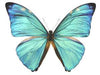20 X UNMOUNTED BUTTERFLIES, Morphidae, Morpho adonis major - Natural History Direct Online Shop