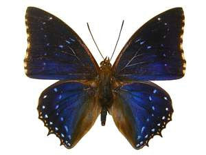 20 X UNMOUNTED BUTTERFLIES, NYMPHALIDAE,Charaxes tiridates - Natural History Direct Online Shop