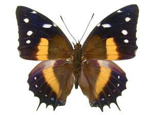 20 X UNMOUNTED BUTTERFLIES, NYMPHALIDAE, BAEOTUS (MEGISTANIS) DEUCALION - Natural History Direct Online Shop
