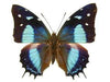 20 X UNMOUNTED BUTTERFLIES, NYMPHALIDAE, BAEOTUS (MEGISTANIS) AMAZONICUS - Natural History Direct Online Shop