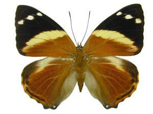 20 X UNMOUNTED BUTTERFLIES, NYMPHALIDAE,Smyrna blomfieldia - Natural History Direct Online Shop
