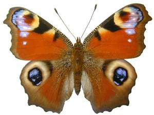 20 X UNMOUNTED BUTTERFLIES, NYMPHALIDAE, Inachis io - Natural History Direct Online Shop