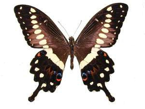 20 X UNMOUNTED BUTTERFLIES, Papilionidae,Papilio lormeri - Natural History Direct Online Shop