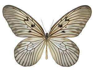20 X UNMOUNTED BUTTERFLIES, Danaidae,Idea blanchardi morosiana - Natural History Direct Online Shop