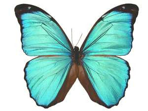 20 X UNMOUNTED BUTTERFLIES, Morphidae, Morpho menelaus menelaus - Natural History Direct Online Shop