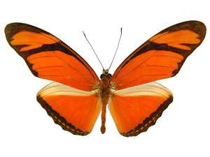 20 X UNMOUNTED BUTTERFLIES, Heliconidae/Ithomidae,Dryas julia - Natural History Direct Online Shop