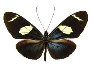 100 X UNMOUNTED BUTTERFLIES, Heliconidae/Ithomidae, Heliconius mix - Natural History Direct Online Shop
