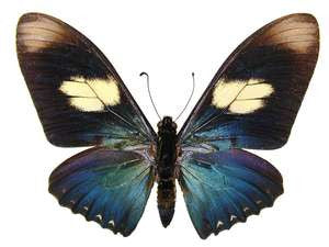 20 X UNMOUNTED BUTTERFLIES, Papilionidae, Eurytides pausianus - Natural History Direct Online Shop