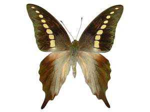 20 X UNMOUNTED BUTTERFLIES, Papilionidae,Graphium codrus codrus - Natural History Direct Online Shop