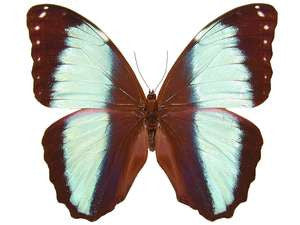 20 X UNMOUNTED BUTTERFLIES, Morphidae, Morpho achilles fagardii - Natural History Direct Online Shop
