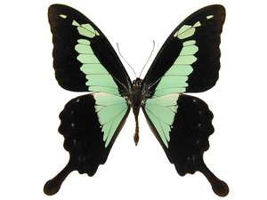 20 X UNMOUNTED BUTTERFLIES, Papilionidae,Papilio phorcas - Natural History Direct Online Shop