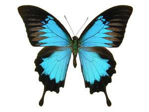 20 X UNMOUNTED BUTTERFLIES, Papilionidae, Papilio ulysses ulysses - Natural History Direct Online Shop